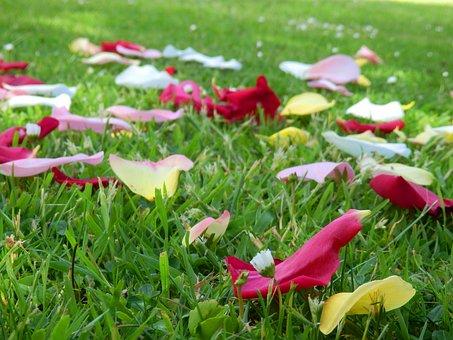 Rose, Petal, Grass, Spring, Summer, Flower, Blossom