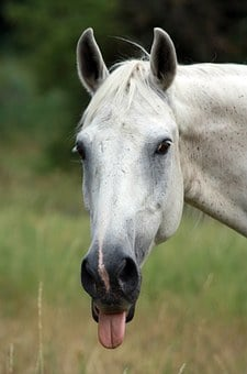 Horse, Tongue, Poking, Out, Sticking, Funny, Face