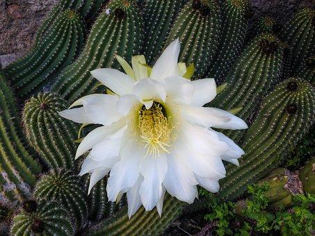 Cactus, White Flower, Quills, Spring
