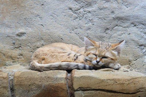 Sand Cat, Wildcat, Zoo, Berlin