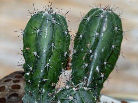 Cactus, Succulent, Nature, Plant, Green, Desert, Summer