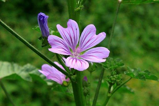 Flowers, Mallow, Malva, Mauve, Purple, Sylvestris