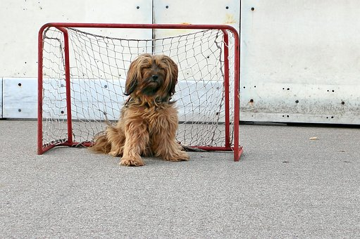 Tibetan Terrier, Dog, Playing Field, Play, Game Goal