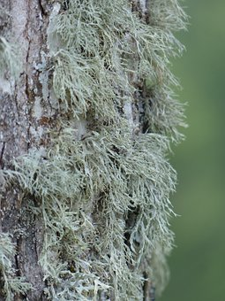 Lichen, Brush Braid, Doris Farinacea, Tree, Bark
