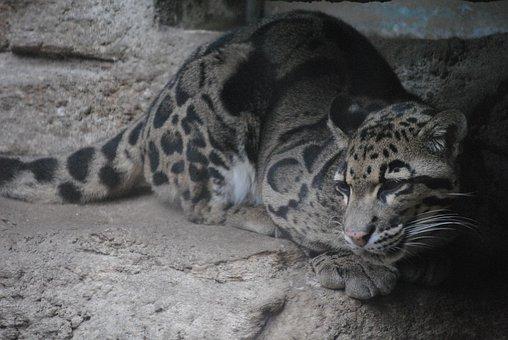 Jaguar, Brown, Blue, Animal, Wildlife, Wild, Cat, Black