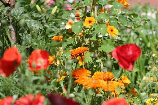 Klatschmohn, Marigold, Thunbergia, Red, Yellow, Orange