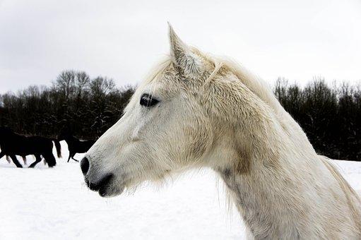 Horse, Head, Snow, Horse Head, Mammal, Pasture, Beauty