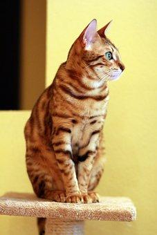 Cat, Bengali, Pet, Bengal, Beautiful, Sitting