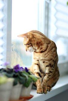 Cat, Bengali, Window, Breed