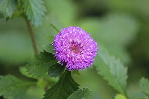 Callistephus Chinensis, Flower, Asteraceae, Purple