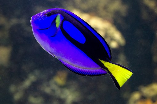 Fish, Sea ​​fish, Blue, Coral Fish, Dori