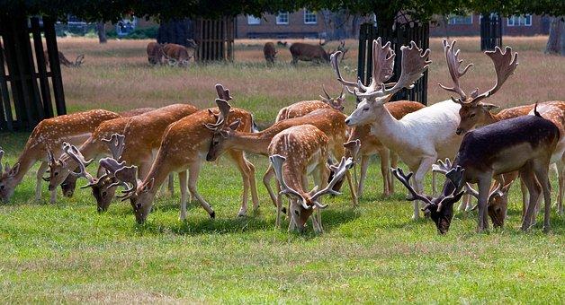 Deer, Roe Deer, Herd, White, White Stag, Stag, Buck