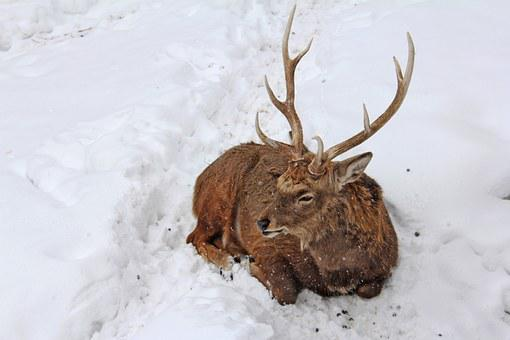 Stag, Animal, Deer, Ezo Deer, Winter, Cold, Snow