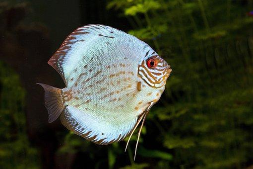 Discusvis, Fish, Aquarium