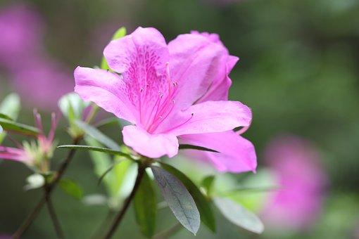 Flower, Red, Sims Azalea, Spring, Plant, Nature, Grow