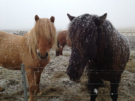 Icelandic Horses, Iceland, Horses In Snow, Horse