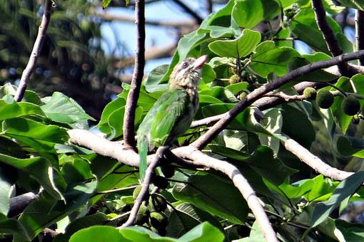 Lineated Barbet, Megalaima Lineata Hodgsoni