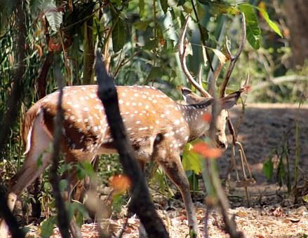 Antler, Deer, Animal, Wildlife, Nature, Mammal, Stag