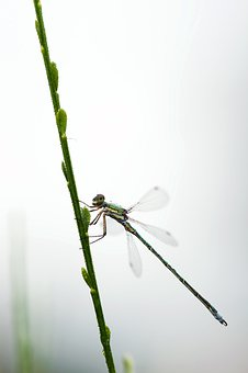Dragonfly, Small Emerald Damselfly, Lestes Virens