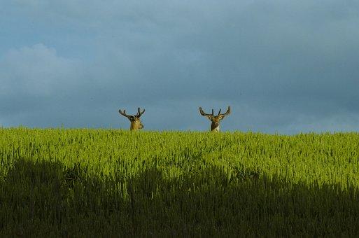 Reindeer, Stag, Deer, Wildlife, Animal, Nature, Mammal