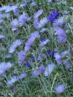 Steal-thistle, Thistle, Blossom, Bloom, Flower, Violet