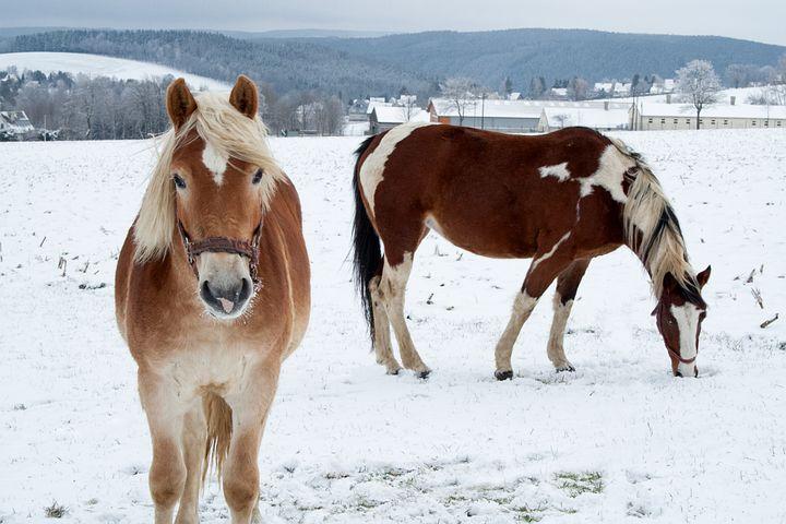 Horse, Winter, Snow, Nature, Coupling, Field, Landscape