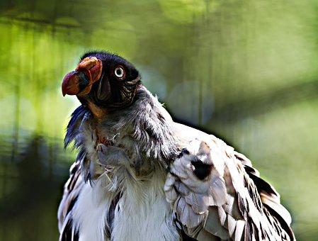 King Vulture, Berlin, Zoo