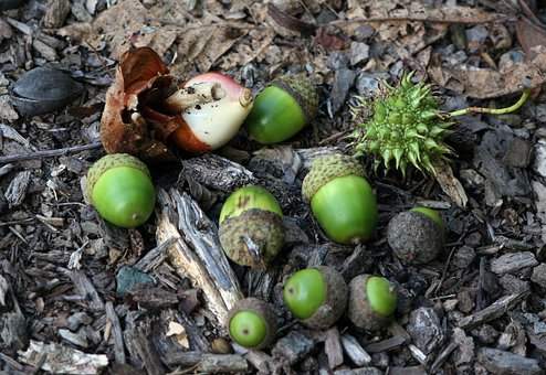 Acorns, Green, Tulip, Bulb, Nuts, Scattered, Ground