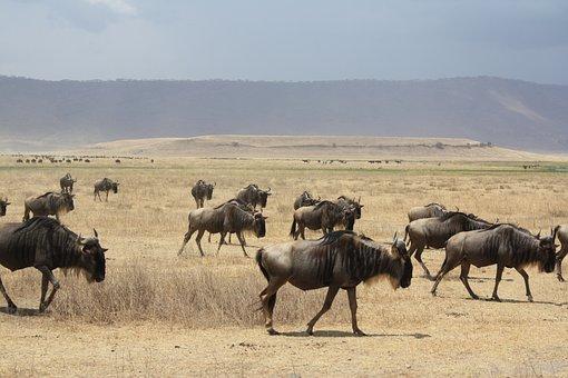 A Herd Of Antelope, Tanzania, Africa, Safari, Antelope