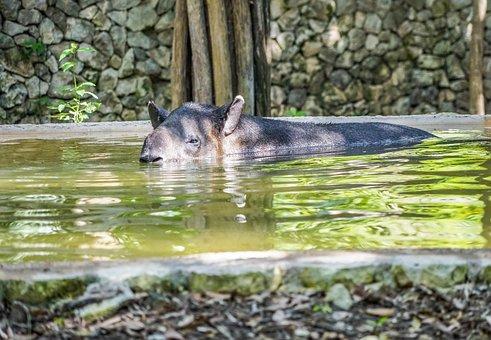 Tapir, Snout, Face, Swimming, Water, Nature, Animal