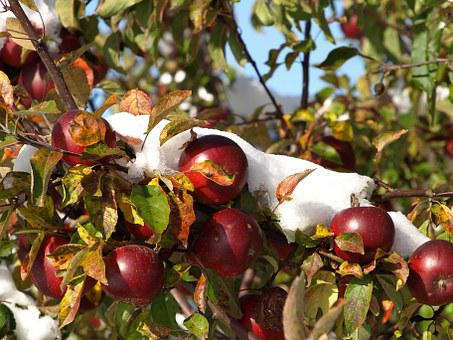 Apple, Snow, Autumn, Winter, Fruit, Frozen