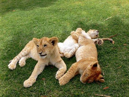 Lion, Lion Cub, Cubs, Play, Playing, Fur, Big Cat