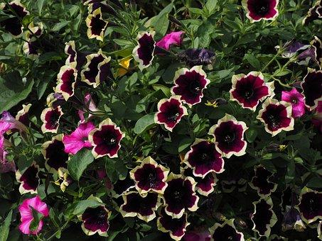Petunia, Flower, Blossom, Bloom, White, Dark Purple