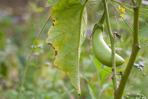 Fruit, Eggplant, Vegetable, Green, Bio, By Nature