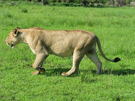 Lions, Tanzania, Animal, Wild, Fauna, Tredator