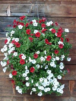 Garden Petunia, Petunia, Balcony Plants