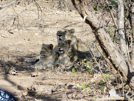 Lioness, Cubs, Indian Lion, Gir Forest, Lion, Animal