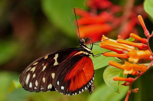 Golden Helicon, Butterfly, Insect, Wildlife, Wing