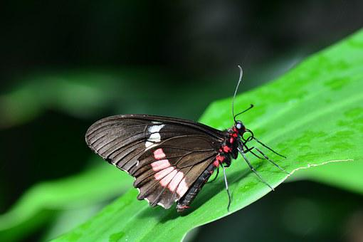 Pink Cattleheart, Butterfly, Insect, Parides, Iphidamas