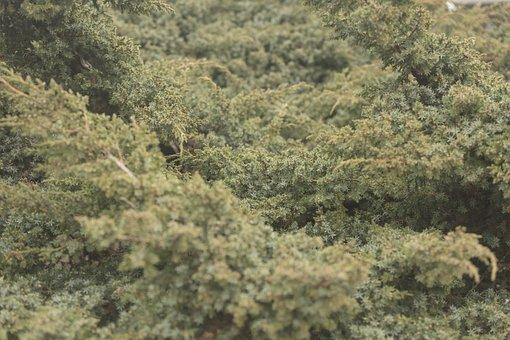 Ambient, Green, Juniper, Vegetation