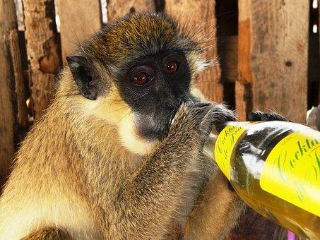 Gambia, Monkey, Lemonade Bottle, Africa, Animals
