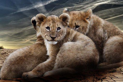 Lion Cub, Lion Babies, Lion, Wildcat, Predator, Africa