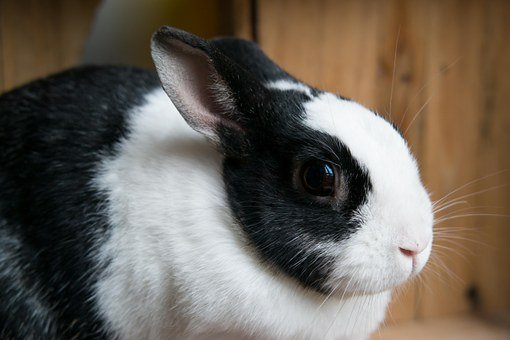 Rabbit, Hare, Eye, Pet, Munchkins, Long Eared, Fur