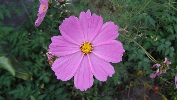 Cosmea, Merchant Louis, Moss, Little Flower, Flower