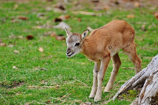 Wild, Young Animal, Roe Deer, Wildpark Poing, Nature