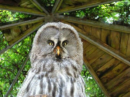 Bart Owl, Bird, Animal World, Owl-like