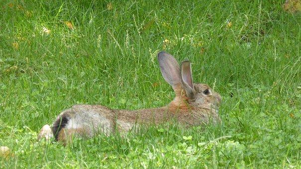 Stall Hase, Rabbit, Brown, Lying, Animal, Hare, Nager