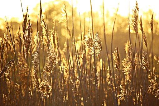 Reed, Sunrise, Morgenstimmung, River, Grass, Nature