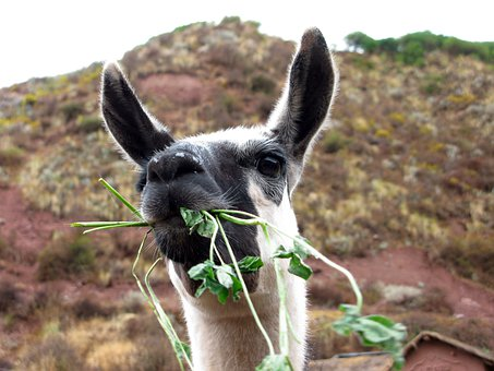 Lama, Peru, Sacred Valley, Animal, Long Ears, Eat