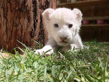 Lion, Cub, Lion Cub, White Lion, Cute, Baby, Sleepy